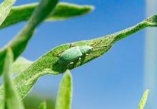 Γαλαζοπράσινα curculionidae στη χλόη ενάντια στον ουρανό Στοκ Εικόνες