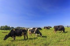 Γαλακτοκομικά βοοειδή που τρώνε τη χλόη σε Taitung, Ταϊβάν Στοκ Φωτογραφία