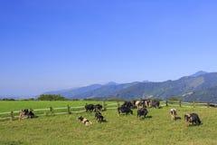 Γαλακτοκομικά βοοειδή που τρώνε τη χλόη σε Taitung, Ταϊβάν Στοκ Εικόνα