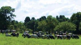 Γαλακτοκομικά βοοειδή στον τομέα φιλμ μικρού μήκους