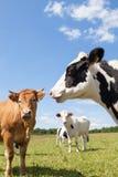 Γαλακτοκομικές αγελάδες του Χολστάιν με μια αγελάδα βόειου κρέατος του Λιμουζέν σε ένα λιβάδι, κεφάλι Στοκ Εικόνες