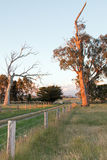 Γαλακτοκομική άποψη λιβαδιού ηλιοβασιλέματος Glengarry της διαβίωσης και των νεκρών δέντρων ευκαλύπτων σε Βικτώρια Αυστραλία στοκ εικόνα με δικαίωμα ελεύθερης χρήσης