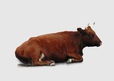 Γαλακτοκομική αγελάδα που απομονώνεται σε ένα γκρίζο υπόβαθρο Στοκ φωτογραφία με δικαίωμα ελεύθερης χρήσης