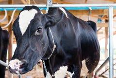 Γαλακτοφόρες αγελάδες Στοκ φωτογραφία με δικαίωμα ελεύθερης χρήσης