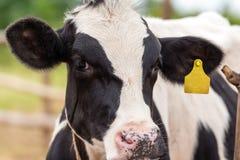 Γαλακτοφόρες αγελάδες Στοκ Εικόνα