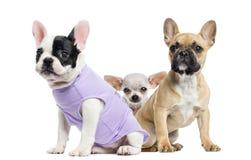 Γαλλικά μπουλντόγκ και Chihuahua, που απομονώνονται Στοκ Εικόνες