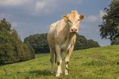 Γαλλική αγελάδα ξανθό δ Aquitaine σε ένα ολλανδικό τοπίο Στοκ Εικόνες