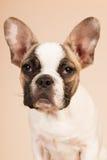 Γαλλικό κουτάβι μπουλντόγκ Στοκ εικόνες με δικαίωμα ελεύθερης χρήσης