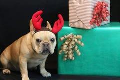 Γαλλικό μπουλντόγκ μέχρι το χριστουγεννιάτικο δώρο με τα ελαφόκερες ελαφιών επάνω Στοκ φωτογραφία με δικαίωμα ελεύθερης χρήσης