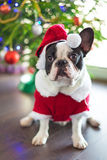 Γαλλικό μπουλντόγκ στο κοστούμι santa για τα Χριστούγεννα Στοκ Φωτογραφίες
