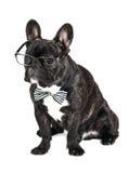 Γαλλικό μπουλντόγκ φυλής σκυλιών στα γυαλιά Στοκ εικόνα με δικαίωμα ελεύθερης χρήσης