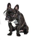 Γαλλικό μπουλντόγκ φυλής σκυλιών στα γυαλιά Στοκ Φωτογραφία