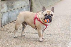 Γαλλικό σκυλί του Bull Στοκ Φωτογραφία
