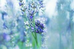 γαλλικό lavender Στοκ εικόνες με δικαίωμα ελεύθερης χρήσης