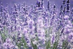 γαλλικό lavender Στοκ φωτογραφία με δικαίωμα ελεύθερης χρήσης
