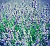 γαλλικό lavender Στοκ εικόνα με δικαίωμα ελεύθερης χρήσης