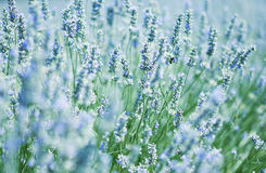 γαλλικό lavender Στοκ Φωτογραφίες