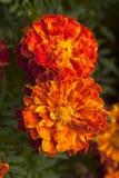 γαλλικό marigold Στοκ Φωτογραφίες