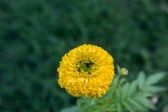 Γαλλικό marigolds λουλούδι Στοκ φωτογραφία με δικαίωμα ελεύθερης χρήσης