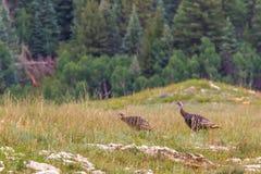 Γαλοπούλες Merriam Στοκ εικόνα με δικαίωμα ελεύθερης χρήσης