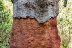 Γδυμένος κορμός δέντρων του Κορκ στοκ φωτογραφία με δικαίωμα ελεύθερης χρήσης