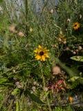 Γειά σου κίτρινο λουλούδι στοκ εικόνες