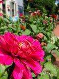 Γειτονιά Zinnia Garden Στοκ Φωτογραφίες