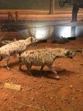 Γεμισμένα ζώα στο Τέξας στοκ φωτογραφίες με δικαίωμα ελεύθερης χρήσης