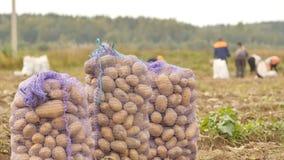 Γεμισμένοι σάκοι της στάσης πατατών στον τομέα Συγκομιδή των πατατών από τους αγρότες Στοκ Φωτογραφίες