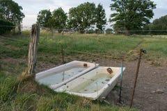 Γεμισμένο Bathtubes νερό δύο μέσω των δασικών ξύλων βοοειδών θερινών αγελάδων λιβαδιού στοκ εικόνα