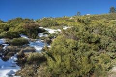 Γεμισμένο brushwood: Κοινό subsp ιοuνίπερος alpina και oromediterraneus Cytisus Στοκ εικόνα με δικαίωμα ελεύθερης χρήσης