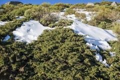 Γεμισμένο brushwood: Κοινό subsp ιοuνίπερος alpina και oromediterraneus Cytisus Στοκ φωτογραφία με δικαίωμα ελεύθερης χρήσης