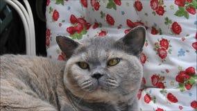 Γενεαλογική βρετανική χαλάρωση γατών shorthair στο μόνιππο απόθεμα βίντεο