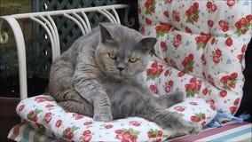 Γενεαλογική γάτα που στο μόνιππο κήπων απόθεμα βίντεο