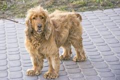Γενεαλογικό σκυλί της Νίκαιας στο περπάτημα στοκ εικόνες