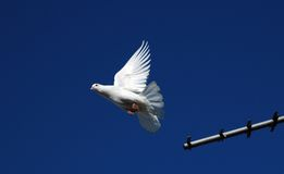 γενεαλογικό pigeons3 Στοκ φωτογραφίες με δικαίωμα ελεύθερης χρήσης