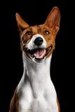 Γενεαλογικό λευκό με το κόκκινο σκυλί Basenji στο απομονωμένο μαύρο υπόβαθρο Στοκ Φωτογραφίες