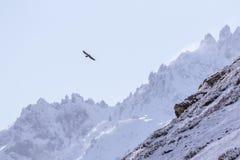 Γενειοφόρος γύπας, ανώριμο, πρώτο έτος barbatus Gypaetus, Vanoise, Γαλλία 2018 στοκ φωτογραφίες