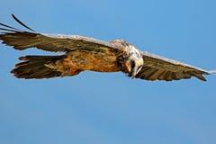 Γενειοφόρος γύπας κατά την πτήση Στοκ Φωτογραφία
