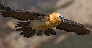 Γενειοφόρος γύπας κατά την πτήση Στοκ Εικόνες