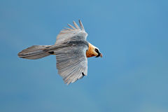 Γενειοφόρος γύπας κατά την πτήση Στοκ Εικόνα