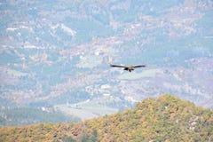 Γενειοφόρος γύπας, που πετά ελεύθερα τα φτερά ευρέως ανοικτά με τα βουνά Στοκ Εικόνα