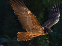 Γενειοφόρος γύπας που πετά Στοκ φωτογραφίες με δικαίωμα ελεύθερης χρήσης