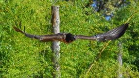 Γενειοφόρος γύπας που πετά Στοκ Φωτογραφία