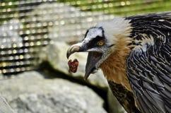 γενειοφόρος γύπας Στοκ Εικόνα