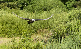 Γενειοφόρος γύπας Στοκ Φωτογραφία