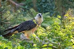 Γενειοφόρος γύπας - barbatus Gypaetus στις άγρια περιοχές Στοκ Φωτογραφίες