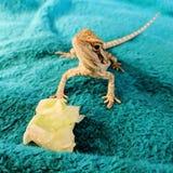Γενειοφόρος δράκος που τρώει το μαρούλι στοκ εικόνα με δικαίωμα ελεύθερης χρήσης