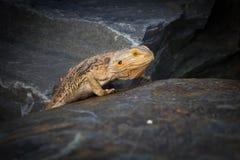 Γενειοφόρος δράκος σε έναν βράχο Στοκ Εικόνες