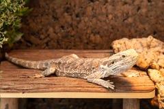 γενειοφόρος δράκος σε ένα terrarium στοκ φωτογραφία
